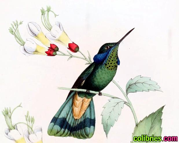 Colibrí orejiazul
