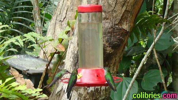 Colibries alimentandose de un bebedero