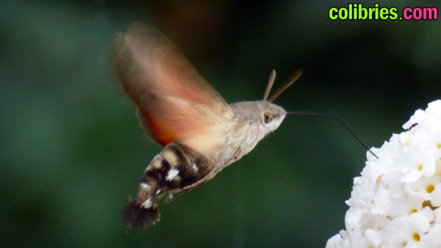 Esfinge colibrí (Colibrí polilla)