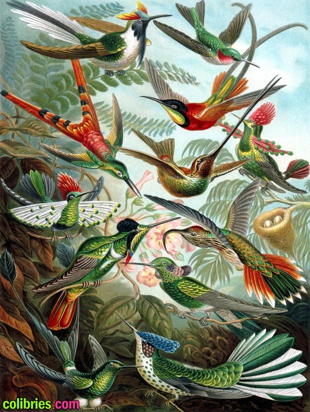 Tipos de colibríes